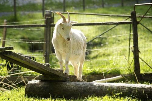 Goat on the farm Ekebo annasfoodstories